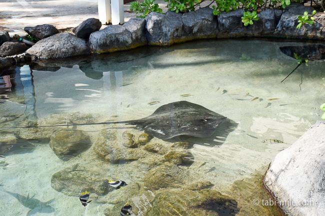 カハラホテル魚エイ
