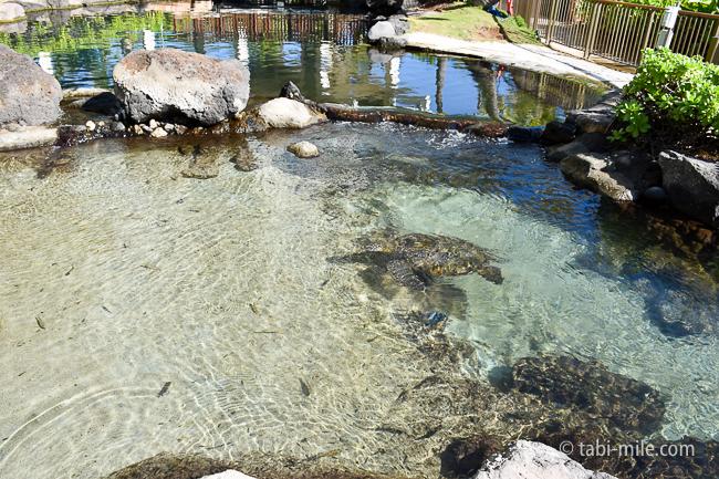 カハラホテル魚カメ