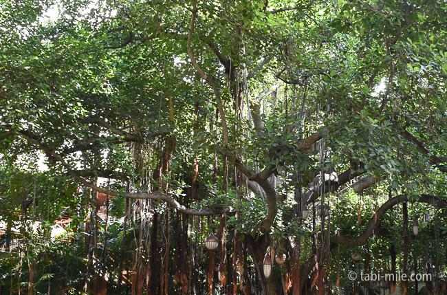 ロイヤルハワイアンホテルココナッツグローブ大きな木の枝