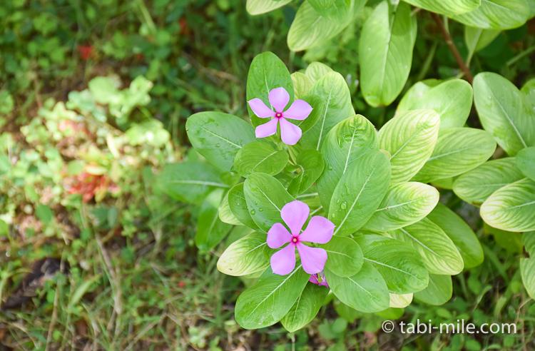 グアム旅行 ココパームガーデンビーチ 小さな花