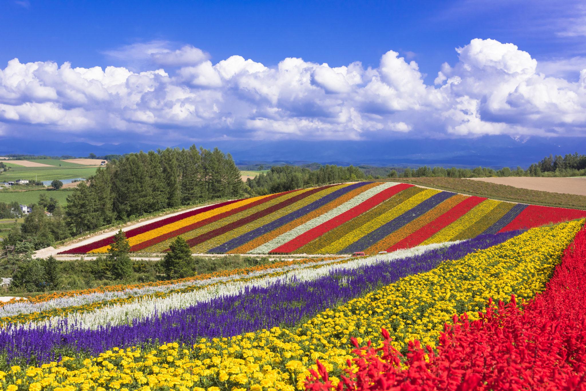 美瑛パノラマロードのお花畑